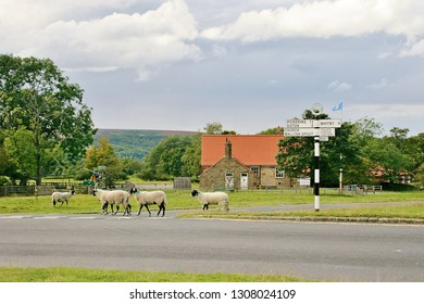 """Goathland, Yorkshire, England, U.K. Swaledale sheep wandering across the road junction at Goathland. The village draws many tourists as it was made famous as Aidensfield in the TV series """"Heartbeat""""."""