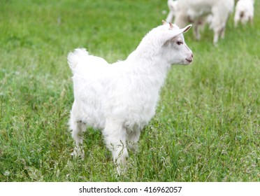 goatling are grazing on grass in the village