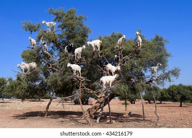 Goats in an Argan Tree in Morocco, Africa