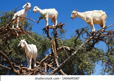 Goats in argan trees on the way between Marrakesh and Essaouira, Morocco.