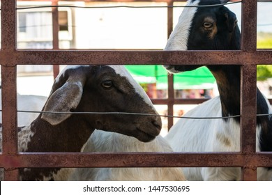Goats being transported in the back of a truck in the historic center of Oeiras, Piaui - Brazil