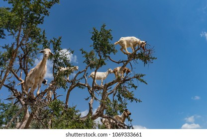 Goats in a big tree. Morocco