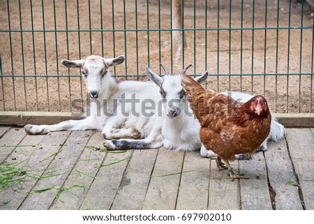 Goats Chicken Cage Pets Stock Photo Edit Now 697902010 Shutterstock