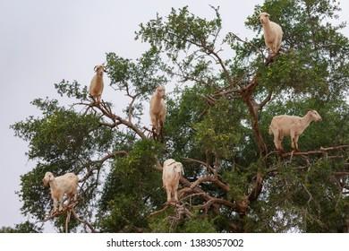 Goats Climbing an Argan Tree along the Road to Essaouira Morocco to Marrakech