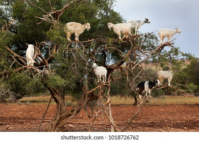 Goats climbing in argan tree in Morocco