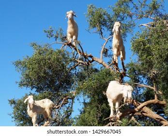 Goats climbing an argan tree in Morocco