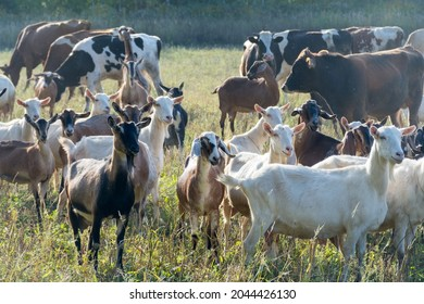 A lot of goats and cows grazing on a green meadow