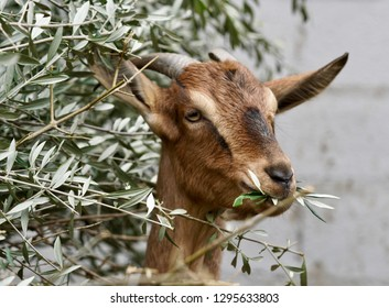 Goats in Crete, Greece eating what they love the most, Olive tree leaves, for backgrounds, wallpaper and greeting cards