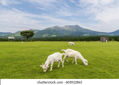 Goats eat grass in a farm near Aso mountain in Kumamoto, Japan.