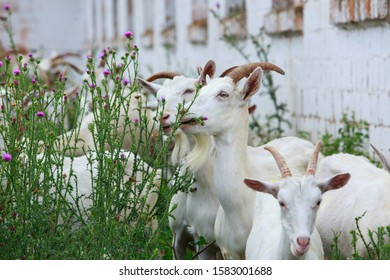 Goats eat green plants near the farm