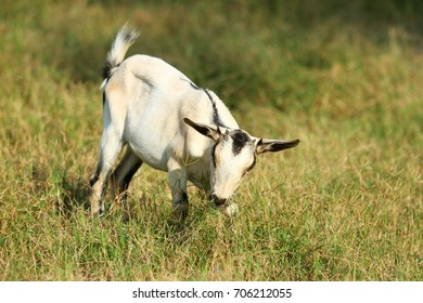 Goats eating grass, Goat on a pasture