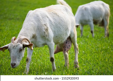 Goats eating grass in the meadow