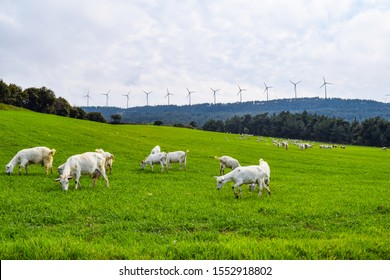 Goats eating grass in the meadow and windmills