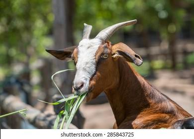 goats eating leaves