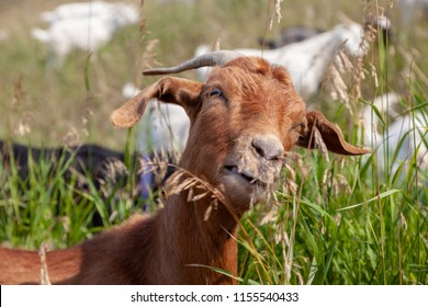Goats eating up weeds in a Calgary park as part of the city's targeted grazing plan for invasive weed species management using environmentally friendly means instead of herbicide.
