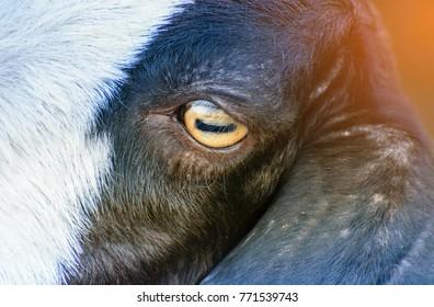 Goat's eyes.Close up of goat's eye.