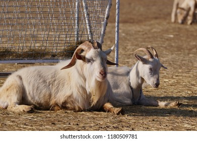Goats at a farm in winter