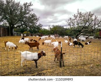 Goats feeding in the fall