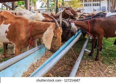 Goats feeding in the farm of Si Sa Ket, Thailand