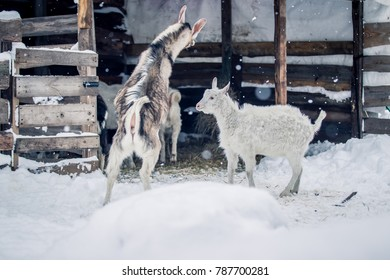 Goats frolic on the snow in the winter