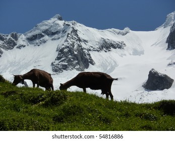 Goats in front of the glacier