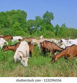 Goats go to the pasture of an organic farm