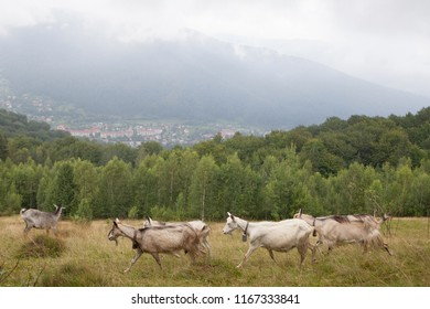 Goats graze on a green hill in the Carpathian mountains