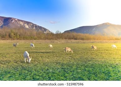 Goats grazing in beautiful countryside