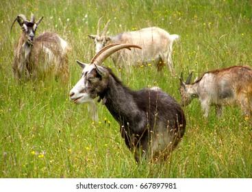 Goats grazing in a green meadow on summer pasture. Estonia. Closeup