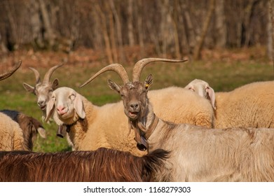 goats grazing in the mountain pasture