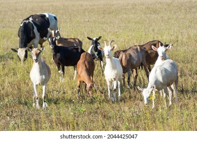 A lot of goats grazing on a green meadow