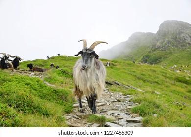 Goats grazing under the mount of Soum de Matte in the Pyrenees mountain. France.