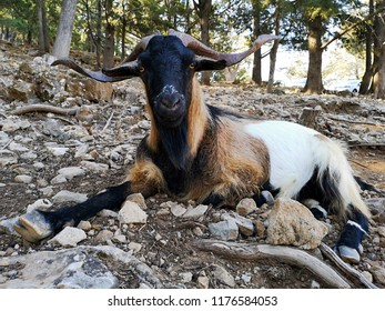 goats in greece