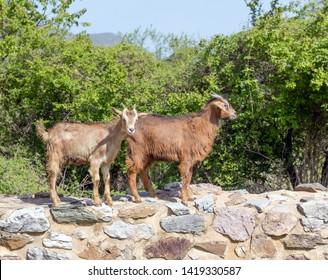 Goats in a Greek village.