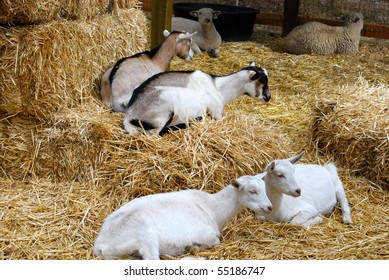 Goats and hay barn