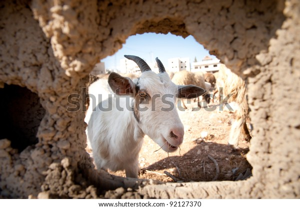Goats Head Appears Through Hole Concrete Stock Photo (Edit Now) 92127370