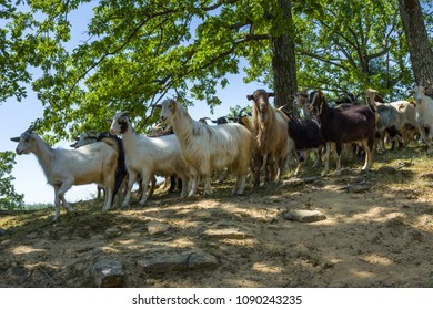 Goats herd in the mountain. Close up view.