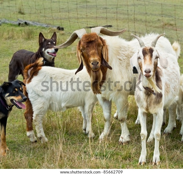 Goats herded by australian working dogs kelpies