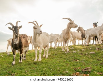 goats in high mountain pasture
