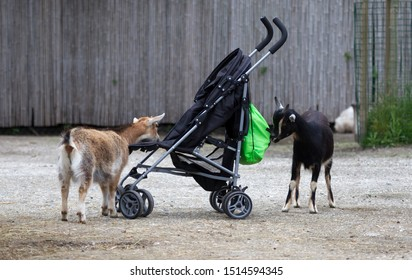 Goats investigating a pram, in search of food