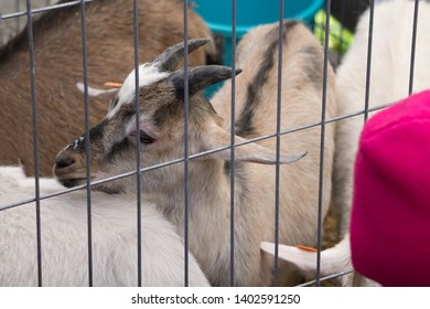 goats life in cage hoof horned kid lifestyle