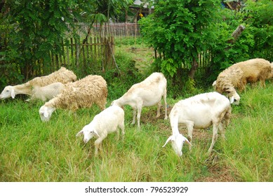 goats looking for grass to eat in the field