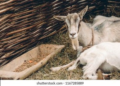 Goats lying on straw bedding near feeder with food in front of wattle fencing