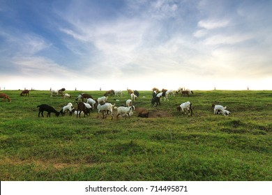 Goats in the meadow with a beautiful sky in summer day