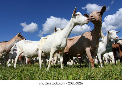 goats in meadow on a sunny day in summer