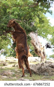 Goats in Morocco climbing the Argan tree for nuts
