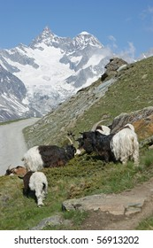 Goats in the mountains close to Matterhorn in the Swiss alps