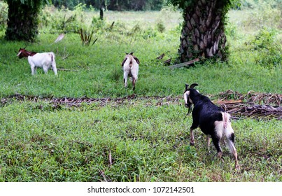 Goats in oil palm plantations are eating fern