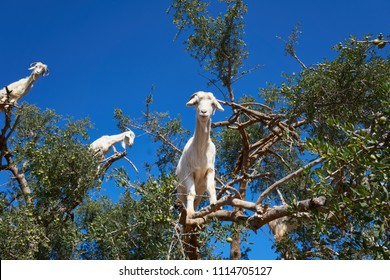 Goats on an argan tree in Morocco