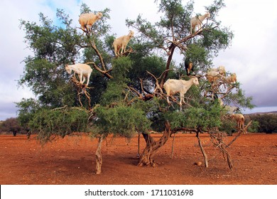 Goats on Argan trees in the way between Marrakesh and Essaouira in Morocco. Africa